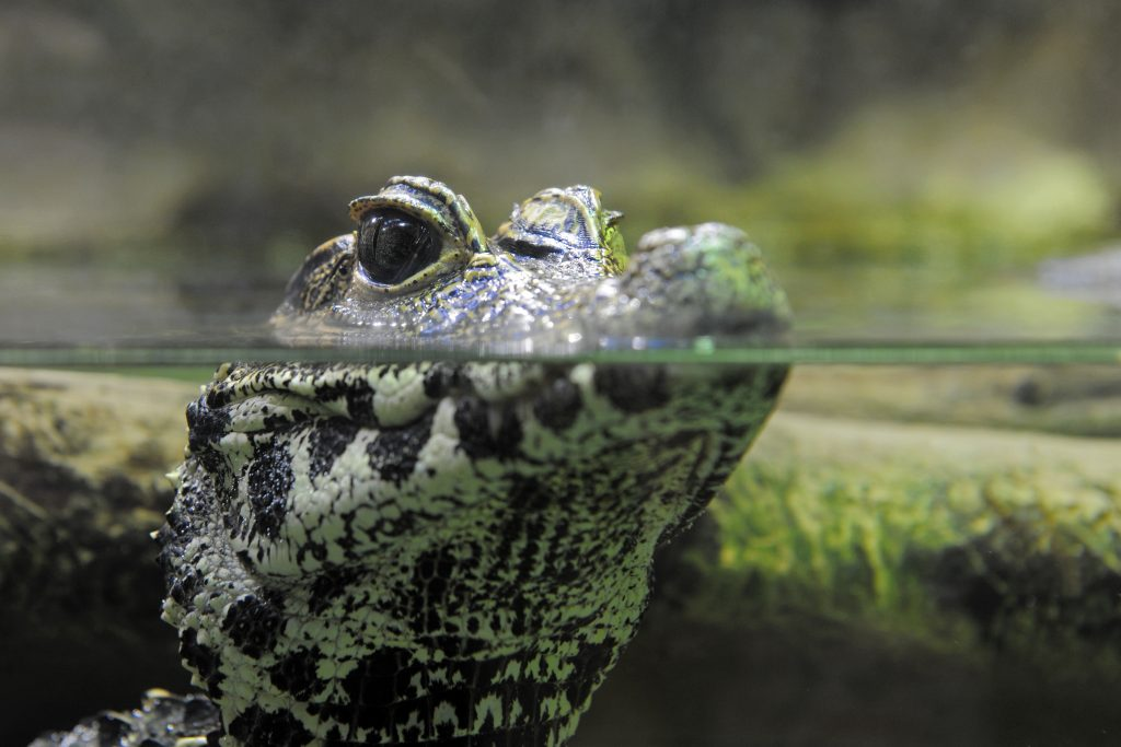 young caiman watching in the water, focus on the eyes