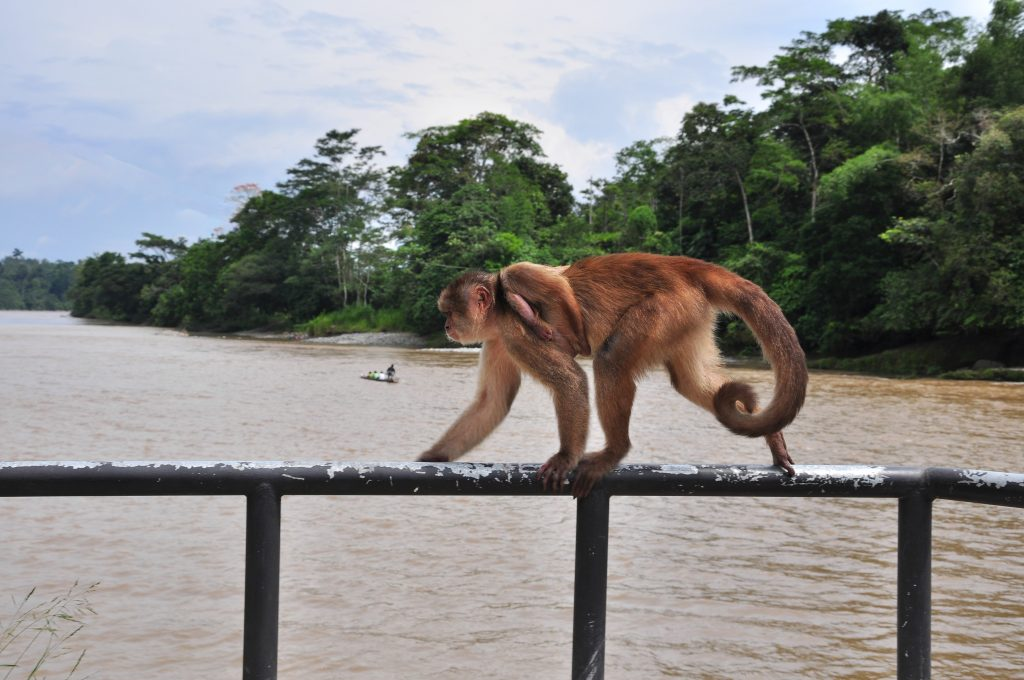a cheeky monkey in the Amazon jungle